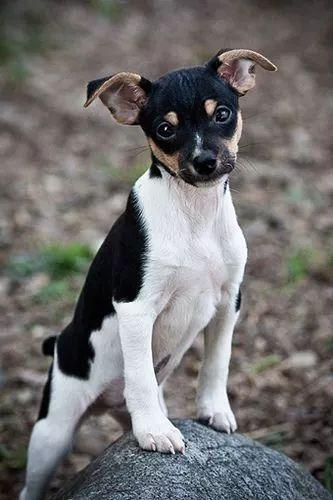 17 Best ideas about Rat Terriers on Pinterest | Rat terrier puppies, Terrier dogs and Rat ...