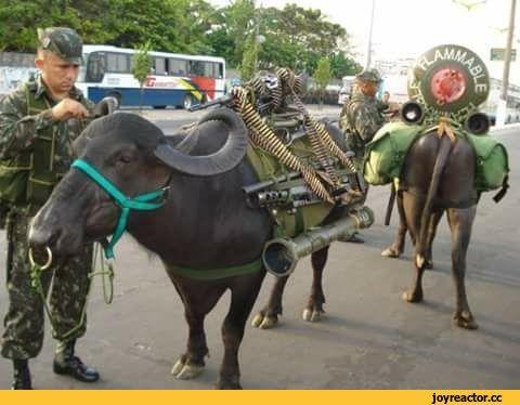 буйвол,оружие