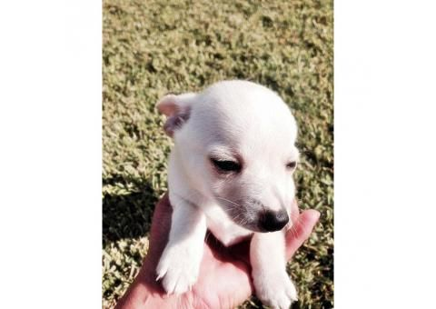 toy chihuahua puppies for sale california