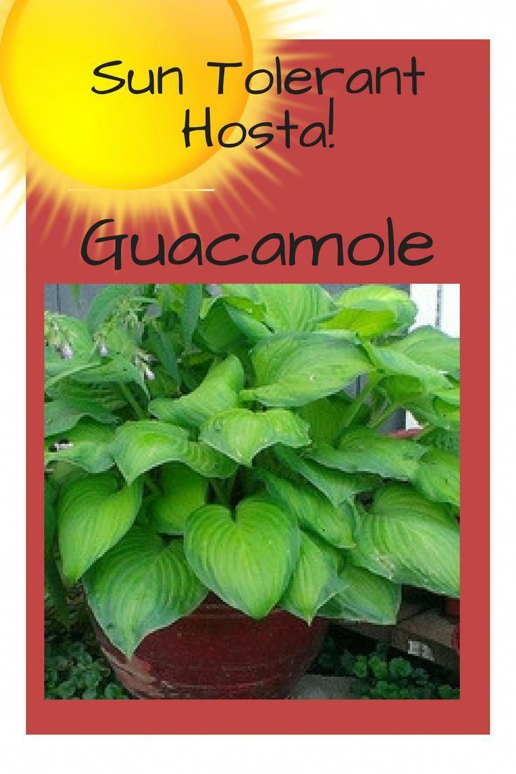 Guacamole Hosta Is Sun Tolerant And One Of The Best Hostas To Plant