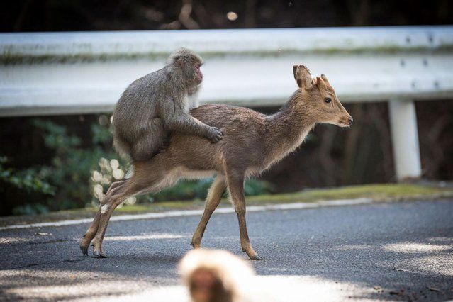 """An undated handout picture released on January 10, 2017 by the Issekinicho publishing house shows an inter- species sexual behaviour between a male Japanese macaque and female sika deer, in Yakushima Scientists revealed on January 10, 2017 the """"highly unusual"""" behaviour of a male monkey filmed trying to have s*x with female deer in Japan – a rare case of inter- species nookie. (Photo by Editions Issekinicho/AFP Photo)"""