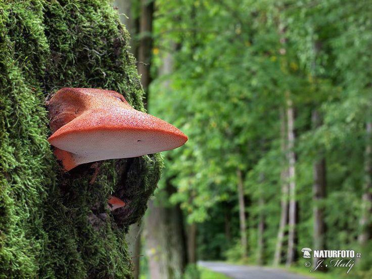 Beefsteak Fungus Mushroom (Fistulina hepatica)