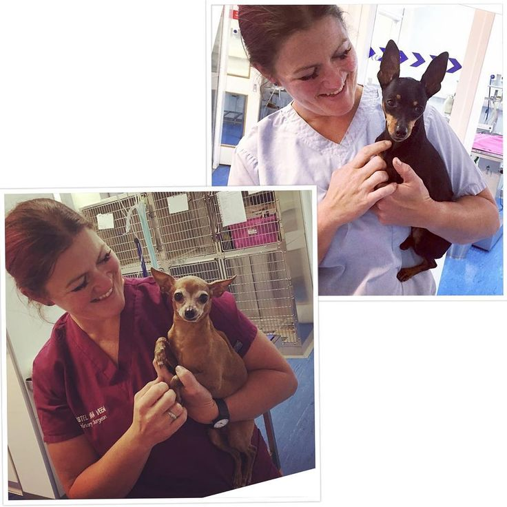 Vet Christel has had a Miniature Pinscher kinda day! Here she is with Liuliu (bottom left) and Momo (top right)  #minaturepinschersofinstagram #minpin #vet #vetsofinstagram #instavet #cute #dog #dogsofreading #dogsofinstagram #rduk #castlevets #castlevetsreading via: #probeatzpromo