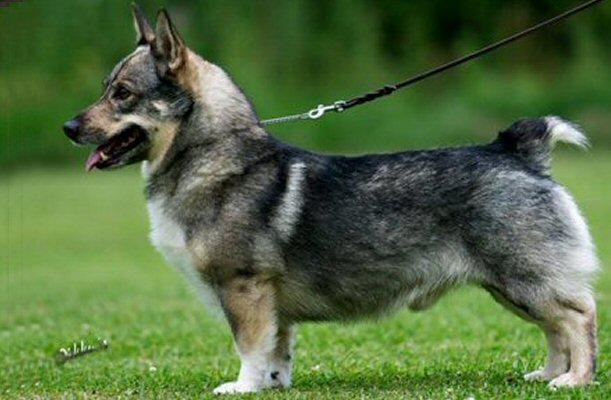 Swedish Vallhund (sometimes called a wolf corgi)