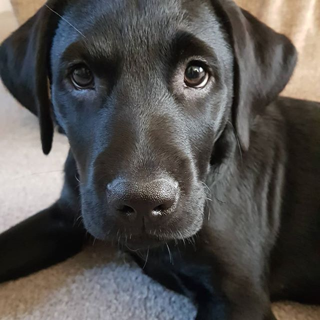 This Is My No I Didn T Put A Hole In Your Slippers Look Labrador Retriever Black Labrador Retriever Silver Labrador Retriever