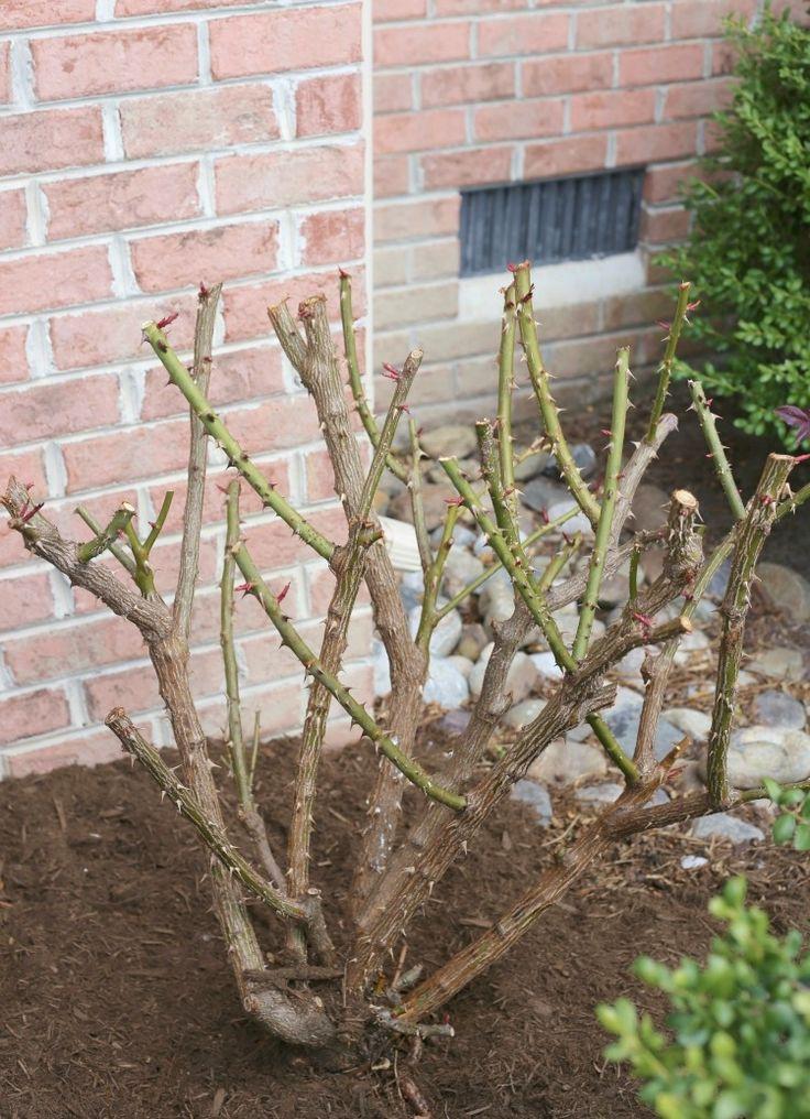 pruning-rose-bushes