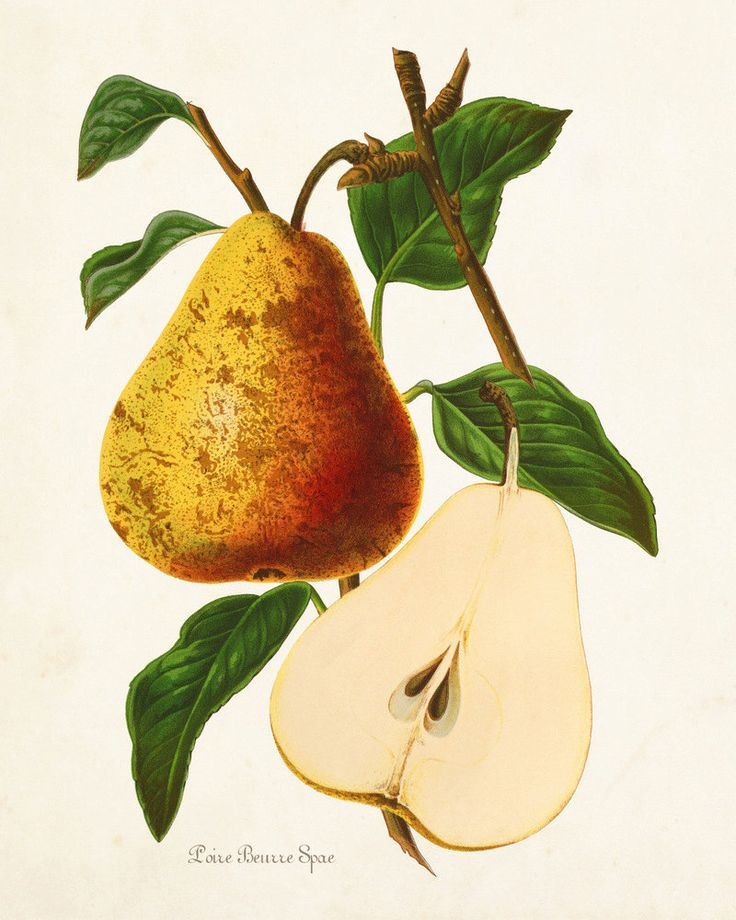 Antique French Pear Print  Giclee Canvas by BelleBotanica