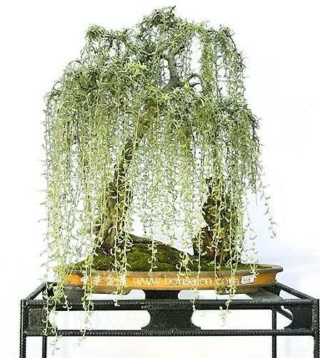 Sauce Lloron bonsai
