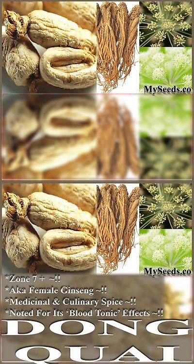 Lawn and Garden 40145: 30 X Dong Quai Aka Female Ginseng Seeds - Angelica Sinensis Seed - Zones 7+ -> BUY IT NOW ONLY: $30 on eBay!