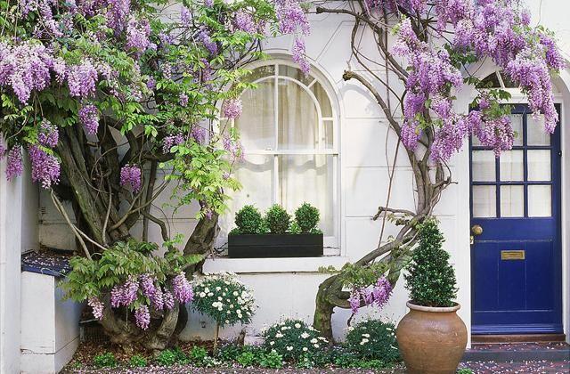 La glycine pour embellir et rendre accueillante la façade d'une maison