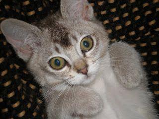 Croquette, chaton Burmilla