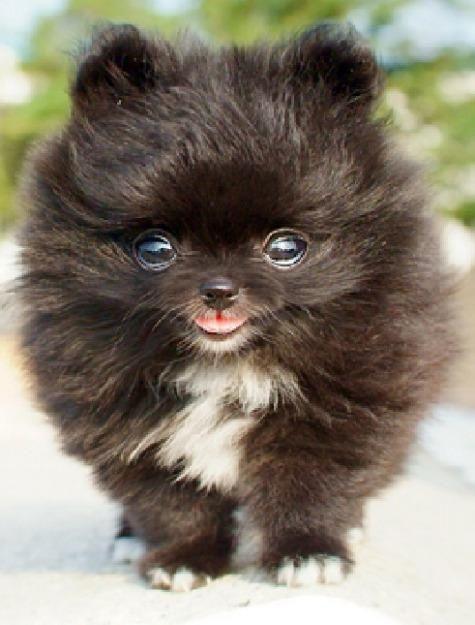 Miniature Pomeranian