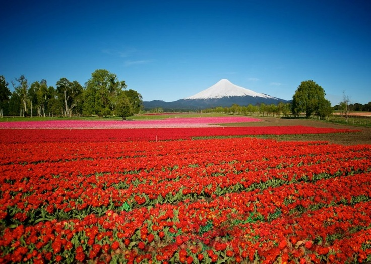 Osorno volcano, Los Lagos region, Southern Chile - I wonder what's growing in this field?