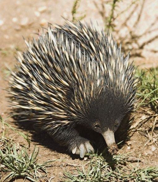 Echidna | Australia's Animals | PawNation