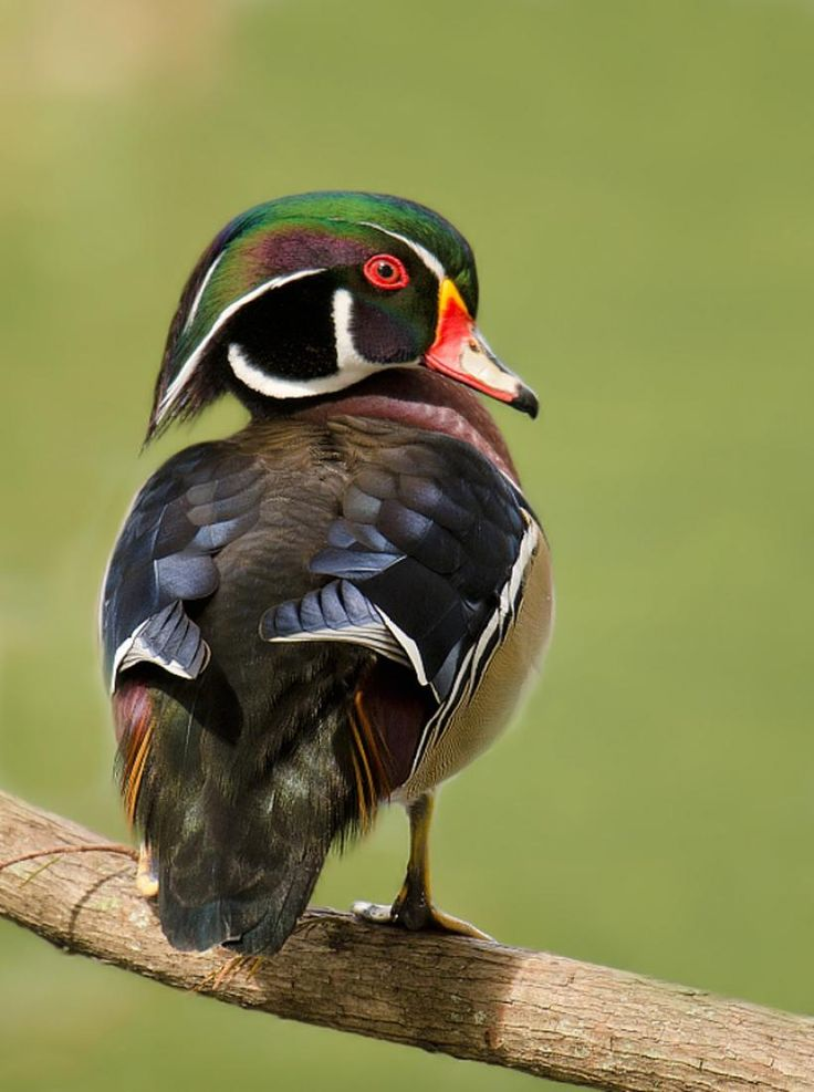 Drake Wood Duck, Aix sponsa: breeds across S Canada, throughout much of the U.S. & S to Cuba along wooded streams & ponds