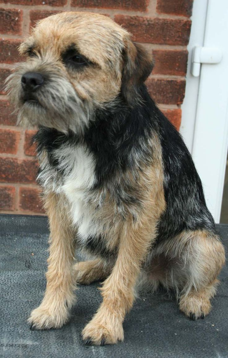 ... , Nottinghamshire UK - Border Terrier puppy and dogs on Puppy Planet