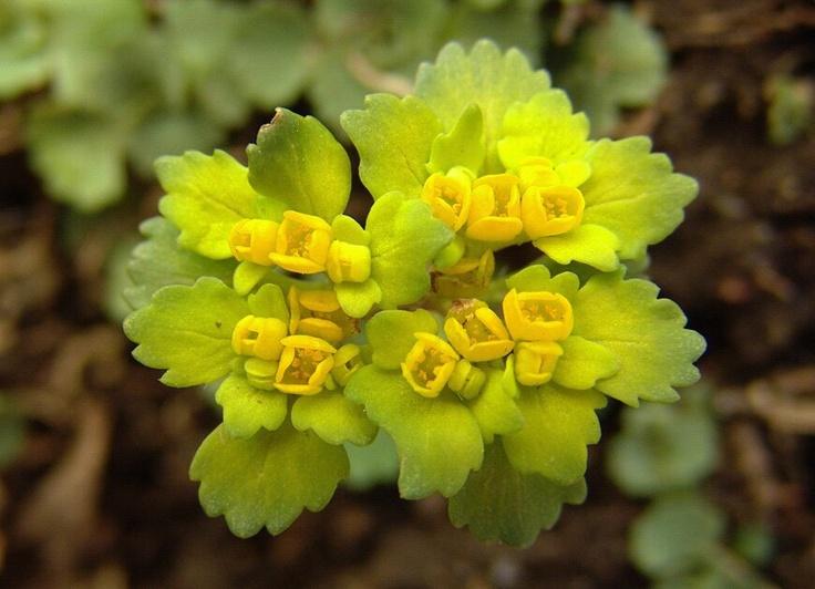 01월 29일의 꽃 - 괭이눈 , 꽃말은 '순간의 아름다움' 출처 : 농진청 송정섭박사