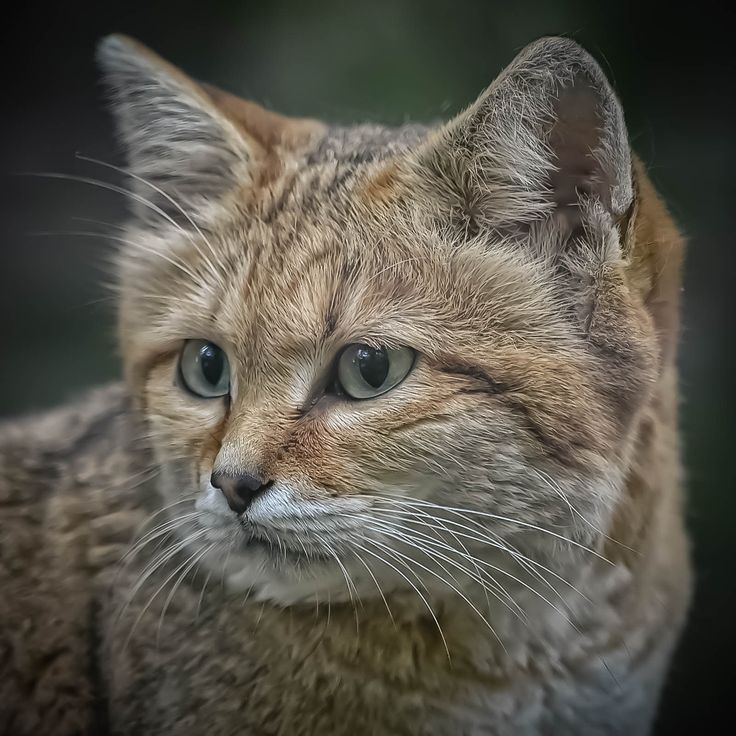 Sand cat (Felis margarita) - Sand cat (Felis margarita), zoo de Mulhouse.