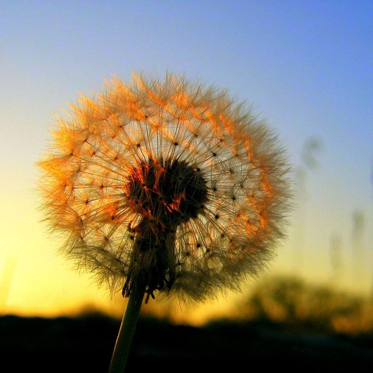 Asethetic Dandelion Plant Macro iPhone wallpaper Blue