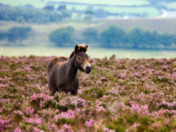 An Exmoor pony grazes in flowering heather on Dunkery Hill in Exmoor National Park, England.