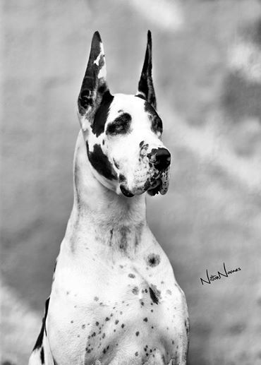 Great Dane - Dogue Alemão