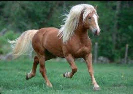 lovak/pacik - Képgaléria - haflingi