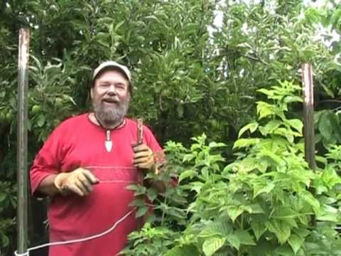 Raspberry Pruning Basics-- this video is really helpful in understanding how to prune an everbearing raspberry bush!