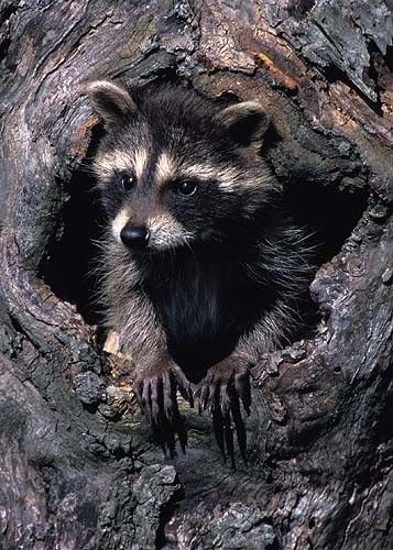 I really like thiat it's a young racoon and in a tree...moe woodsy. Raccoon Kit, 5x7 Matted Baby Animal Photography, Wildlife Nature Photograph, Wild Animal Wall Art, North Woods Cabin Decor