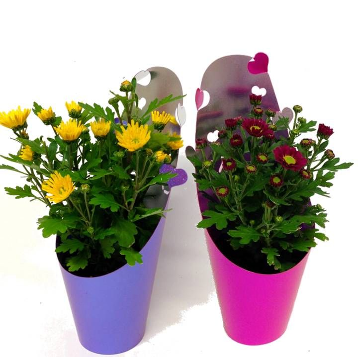 Chrysanthemums flowering in time for Mothers Day 2015! available at www.summerhillnurseries.com.au
