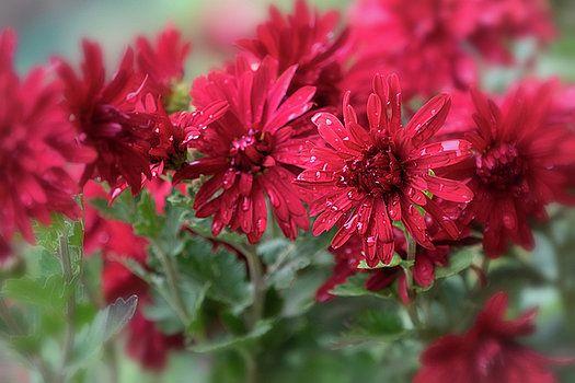 Drops of happiness by Natalya Antropova #NatalyaAntropovaFineArtPhotography#ArtDecor#HomeDecor#Chrysanthemums
