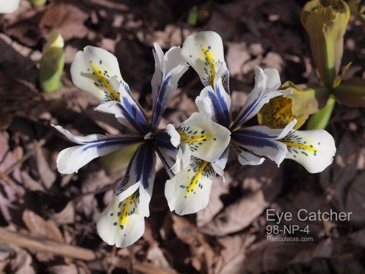 Reticulata Iris:    Eye Catcher