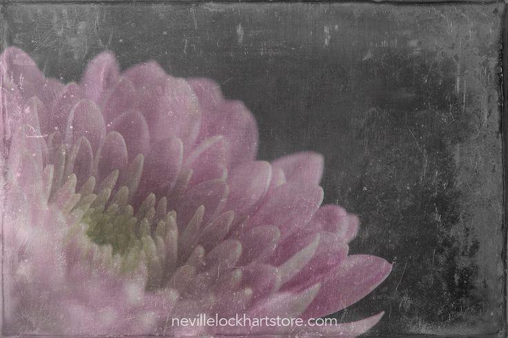 Chrysanthemum, Wet Plate Template, Photo Art