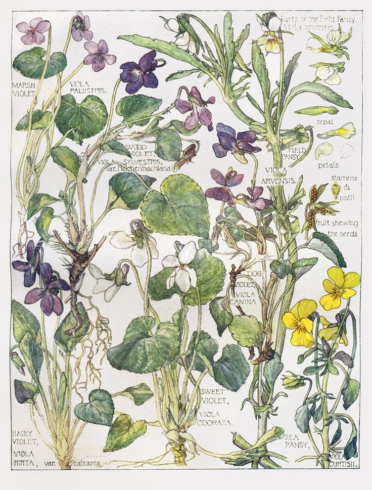 Violets - Wild Flower Botanical Print by Isabel Adams - Antique Print
