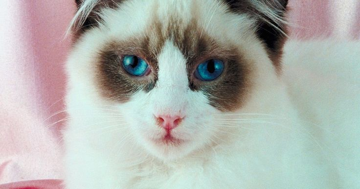 ¿Cuánto cuesta un gato ragdoll?. Los ragdoll han sido criados selectivamente para exagerar características específicas. Sus cualidades más conocidas son su buen temperamento y ciertas características físicas. Es por este proceso de crianza cuidadosa, selectiva que los gatitos ragdoll son muy caros. Aunque el precio puede variar según el criador, la ubicación, la calidad de los ...