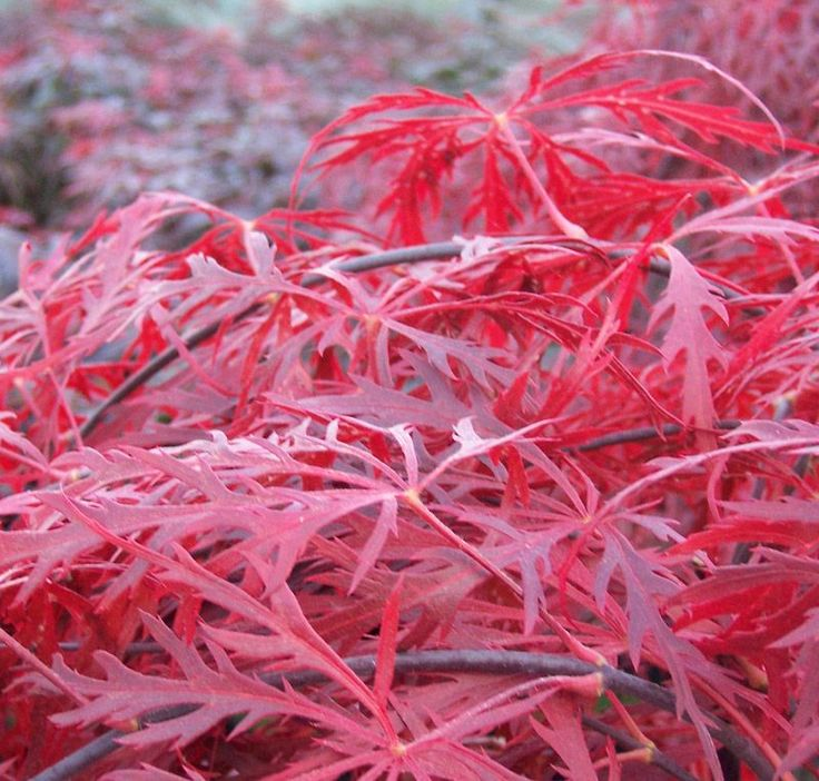2007 best images about acer palmatum on pinterest scarlet red dragon and green leaves. Black Bedroom Furniture Sets. Home Design Ideas
