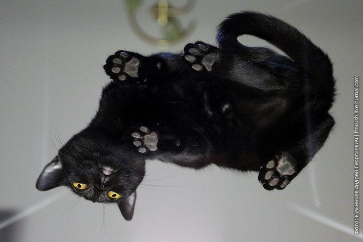 Бомбейская кошка фотография вид снизу