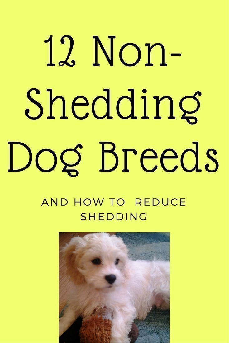 12 Non Shedding Dog Breeds / reduce shedding / cleaning tips / nutrition
