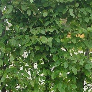 Hekkplanter.com - Agnbøk 150 cm (10 - 19 planter) 750,00 NOK
