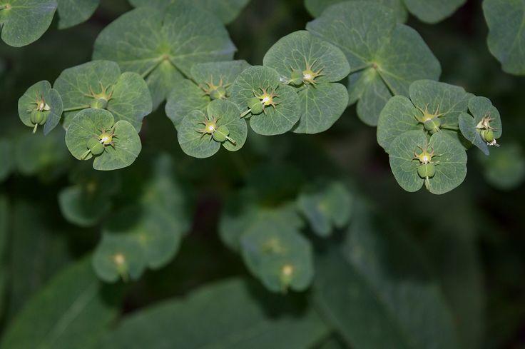 Молочай длиннорогий / Euphorbia macroceras