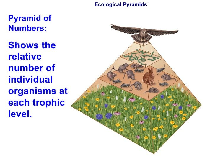 Ecological Pyramids Pyramid of Numbers: Shows the relative number of individual organisms at each trophic level.