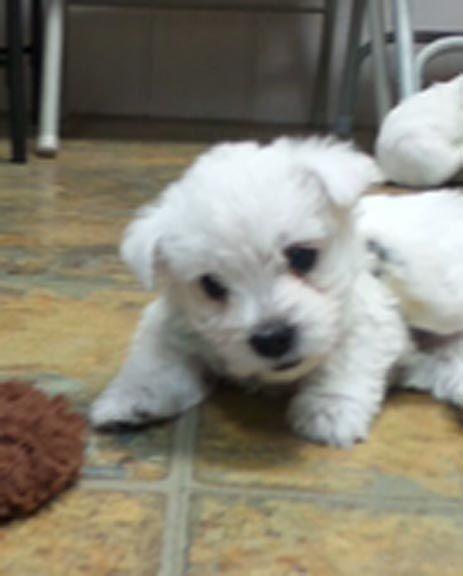Puppies for sale - West Highland White Terrier (Westie), West Highland White Terriers, Westies - ##f_category## in Bellflower, Missouri