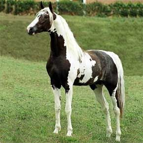 Mangalarga horse: In 1812, as the breed's popularity spread, breeders concentrated on developing different gaits within the breed without loss of the confort and agility . Nowadays, this blood remains only by a few female lines, but these influences made the Mangalarga horse a different breed from the Mangalarga Marchador breed.
