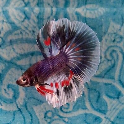 Thai betta colorful fish pinterest beautiful live for How long can a betta fish live