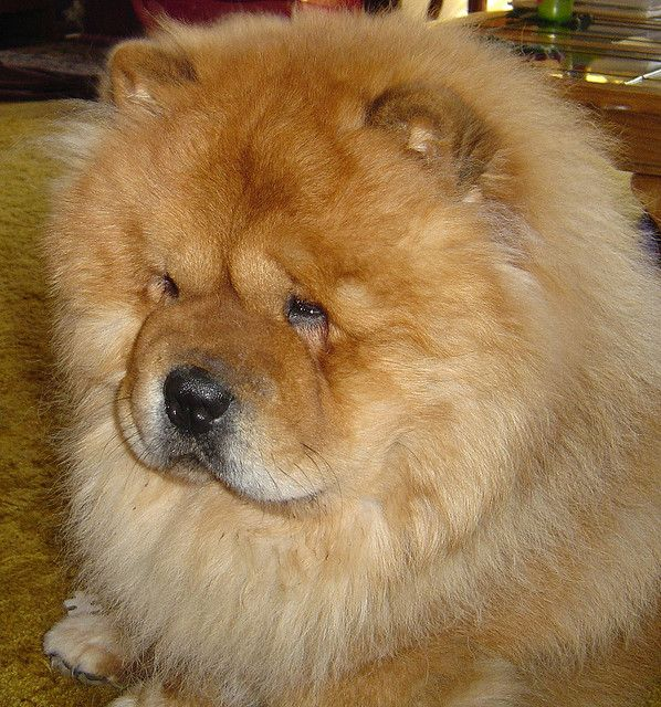 Ran across this pic of a Beautiful red chow and it made me miss my Schmoo-ber Bear!