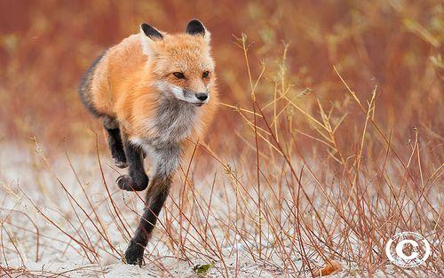 Red fox on the run