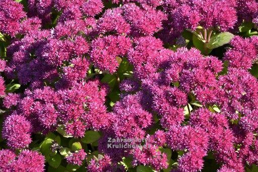 Výška:  40 - 50 cm  Květ:  velmi tmavě růžový, VIII. - X. Novější, patentovaný kultivar s velmi výraznými květy...