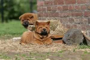 Look here for more information about chow chow puppies! Get the best chow chow puppies for sale! Also with information about breeding and the adoption of chow chow dogs!