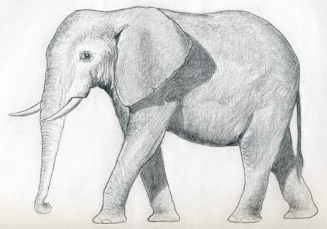 How To Draw An Elephant. WALT use our pencil to sketch, consider shadows when drawing and use basic shapes to create a detailed drawing.