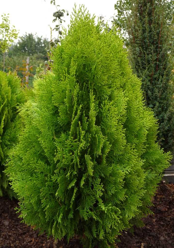 17 best ideas about thuja orientalis on pinterest blue spruce dwarf evergreen trees and. Black Bedroom Furniture Sets. Home Design Ideas