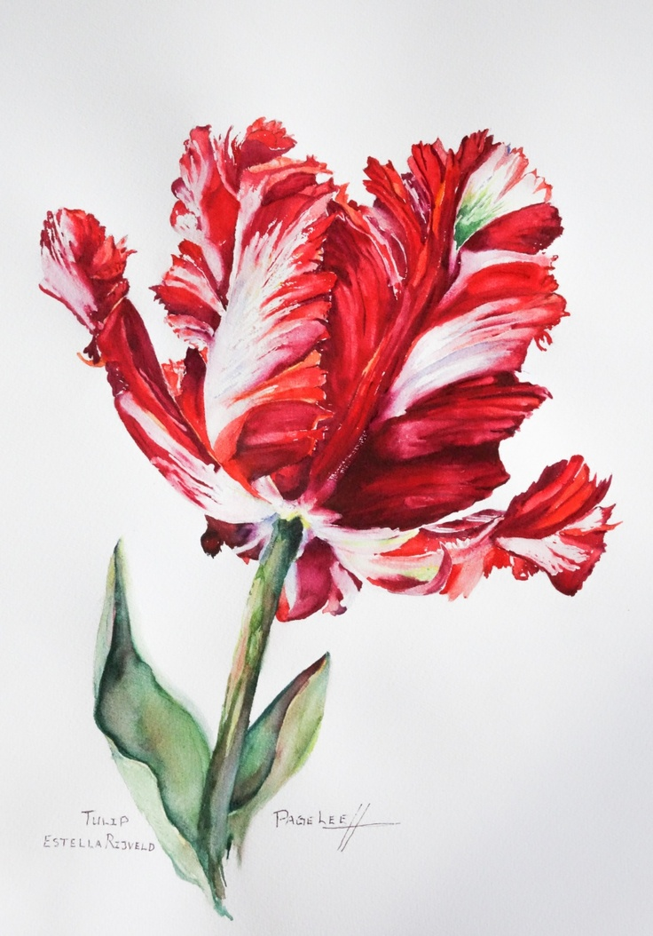 Page Lee's watercolor of Carolyne Roehm's tulips #pavelife #garden #flowers